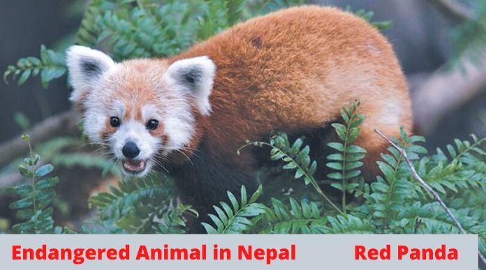 Red Panda in Nepal