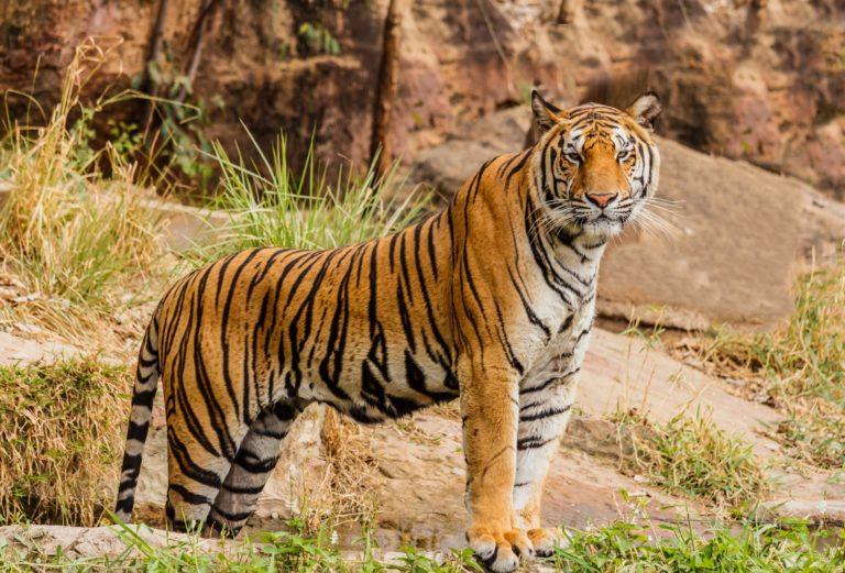 Nepal Tigers